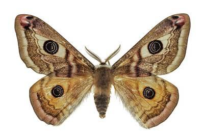 Small Emperor Moth Print by F. Martinez Clavel