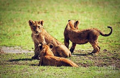Playing Photograph - Small Lion Cubs Playing. Tanzania by Michal Bednarek