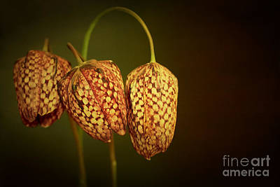 Lily Photograph - Snakes Head Lilys by Peter Hatter