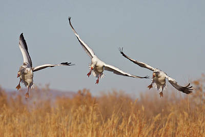 Snow Geese (chen Caerulescens Print by Larry Ditto