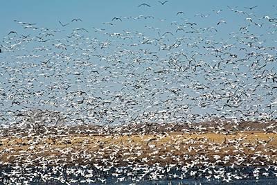 Snow Geese Flock Print by Jim West
