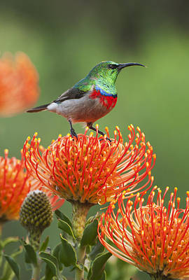 Southern Double-collared Sunbird Print by Kevin Schafer