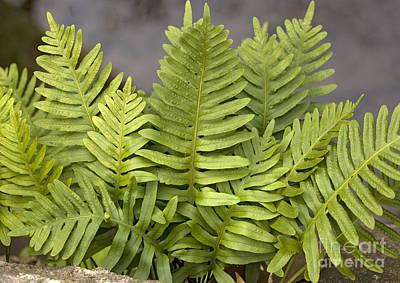 Epiphyte Photograph - Southern Polypody Polypodium Australe by Bob Gibbons