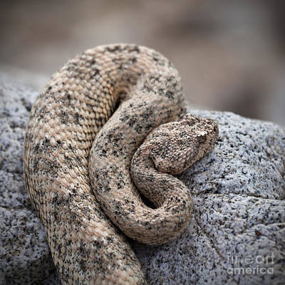 Rattlesnake Photograph - Speckled Rattlesnake Crotalus Mitchellii by Liz Leyden