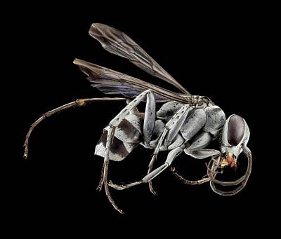 Spider Wasp Print by Us Geological Survey