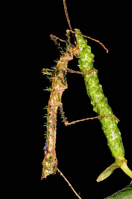 Anthurium Photograph - Spiny Moss-mimicking Stick Insect by Dr Morley Read