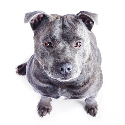 Staffordshire Bull Terrier Print by Jorgo Photography - Wall Art Gallery