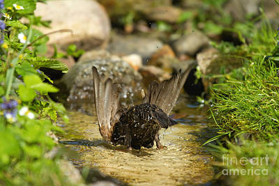 Starlings Photograph - Starling Bathing by Helmut Pieper