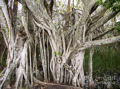 Strangler Fig Photograph - Strangler Fig Tree by Tracy Knauer