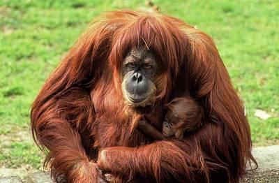 Sumatran Orangutan (pongo Abelii) Print by Photostock-israel
