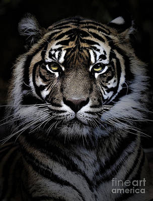Sumatran Tiger Print by Avalon Fine Art Photography