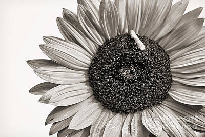 Sepia Flowers Photograph - Sunflower by Cindi Ressler