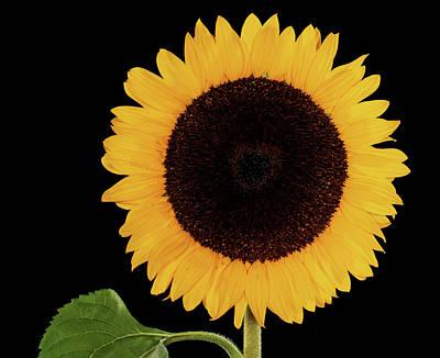 Sunflower (helianthus Annuus) Print by Gilles Mermet