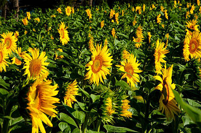 Sunflowers Helianthus Annuus Print by Panoramic Images