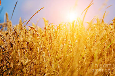 Yellow Photograph - Sunny Wheat Field Closeup by Michal Bednarek