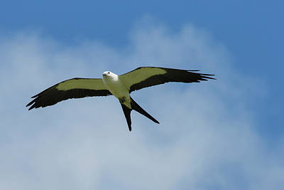 Kites Photograph - Swallow-tailed Kite In Flight by Maresa Pryor