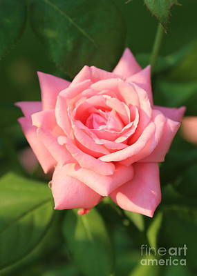 Sweet Pink Rose Print by Carol Groenen