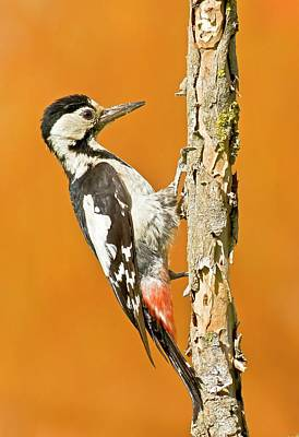 Woodpecker Photograph - Syrian Woodpecker (dendrocopos Syriacus) by Photostock-israel
