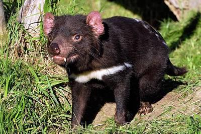Large Mammals Photograph - Tasmanian Devil by Bildagentur-online/mcphoto-schulz