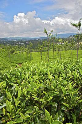 Camellias Photograph - Tea Plants (camellia Sinensis by Connie Bransilver