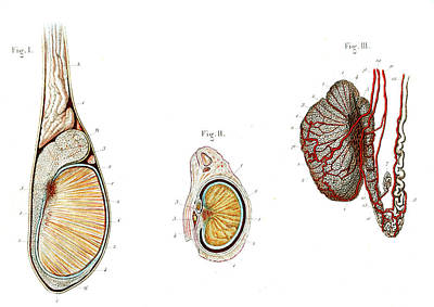 Testicle Anatomy Print by Collection Abecasis