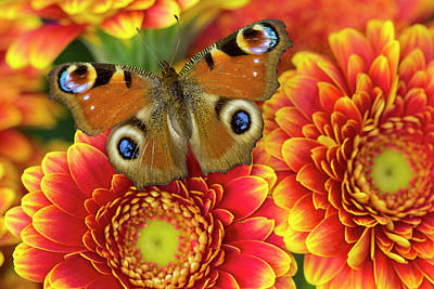 Gerber Daisy Photograph - The European Peacock Butterfly, Inachis by Darrell Gulin