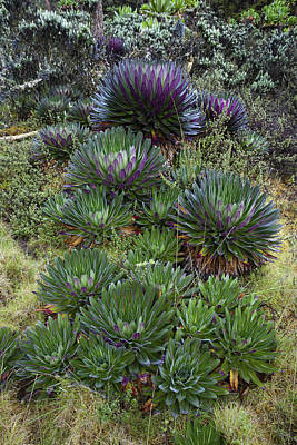 Lobelia Photograph - The Giant Lobelias (lobelia Bequaertii by Martin Zwick