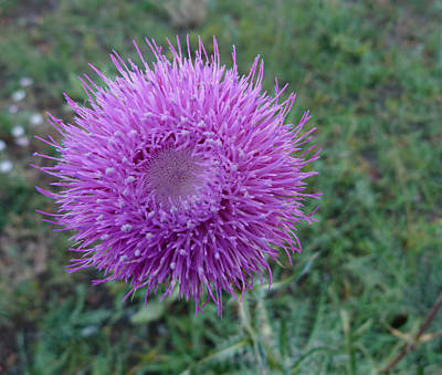 Thistle Bloom Print by Susan Porter