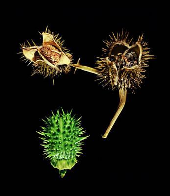 Datura Photograph - Thorn Apple (datura Stramonium) by Gilles Mermet