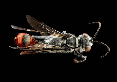 Thread-waisted Wasp Print by Us Geological Survey