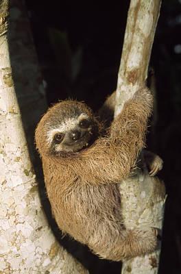Three-toed Sloth Print by M. Watson