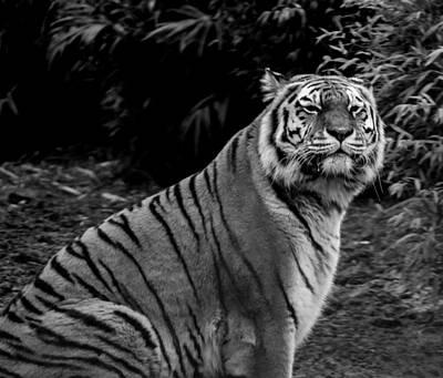 Tiger Portrait Print by Martin Newman