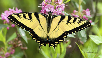 Print featuring the photograph Tiger Swallowtail Butterfly On Milkweed Flowers by A Gurmankin