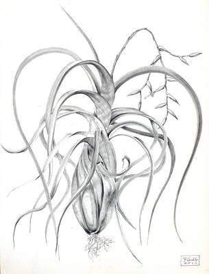 Tillandsia Flexuosa Print by Penrith Goff