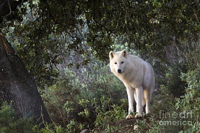 Timber Wolf Print by Angel  Tarantella