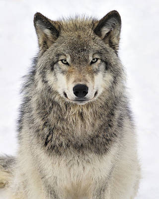 Timber Wolf Portrait Print by Tony Beck