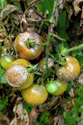Famine Photograph - Tomatoes Infected With Late Blight by Dr Jeremy Burgess