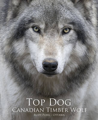 Wolves Photograph - Top Dog by Rudy Pohl