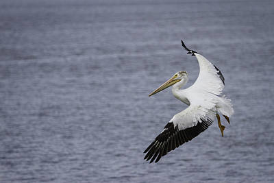 Lone Pelican Photograph - Touching Down by Thomas Young
