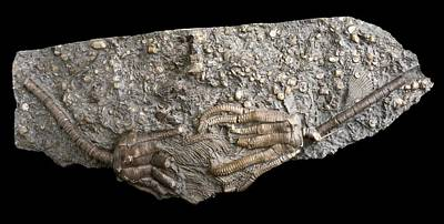 Triassic Photograph - Triassic Crinoids by Science Photo Library