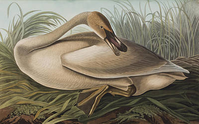 Swan Drawing - Trumpeter Swan by John James Audubon