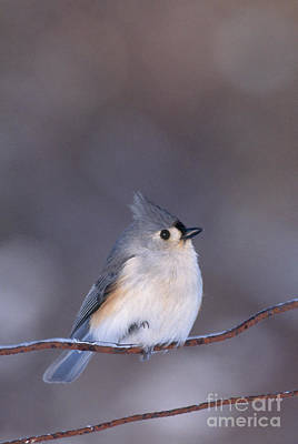 Titmouse Photograph - Tufted Titmouse by Larry West