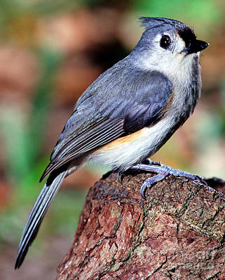 Titmouse Photograph - Tufted Titmouse Parus Bicolor by Millard H. Sharp