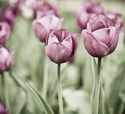 Garden Photograph - Tulip Garden by Frank Tschakert
