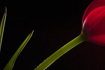 Fine Art Photograph - Tulip On Black by Andrew Soundarajan