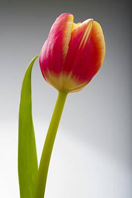 Tulip Print by Sebastian Musial
