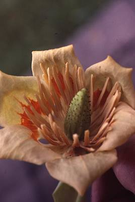 Tulip Tree Flower Print by Retro Images Archive