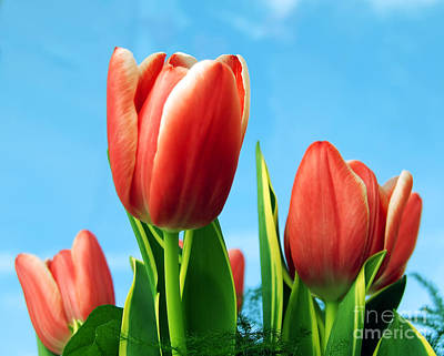 Blossom Photograph - Tulips Background by Michal Bednarek
