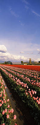In A Row Photograph - Tulips In A Field, Skagit Valley by Panoramic Images