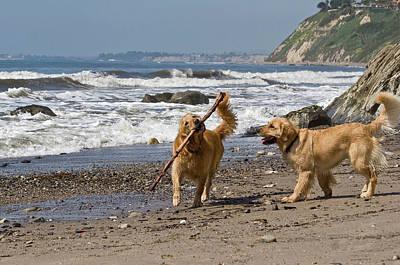 Golden Retrievers Photograph - Two Golden Retrievers Playing by Zandria Muench Beraldo